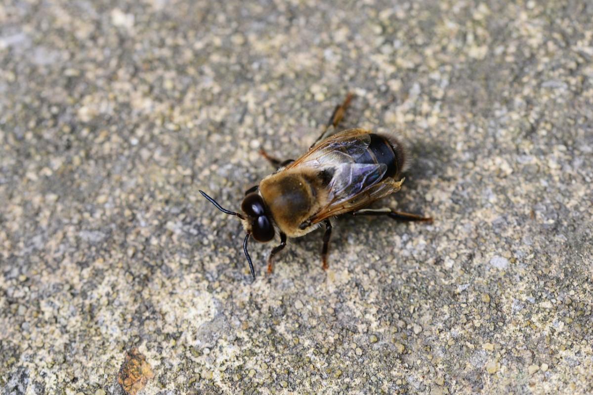 Drohne der Honigbiene