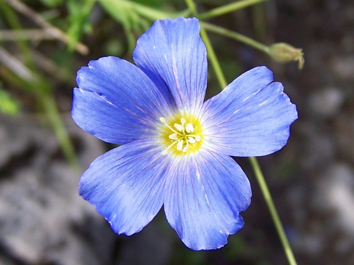 Blaue Leinblüte