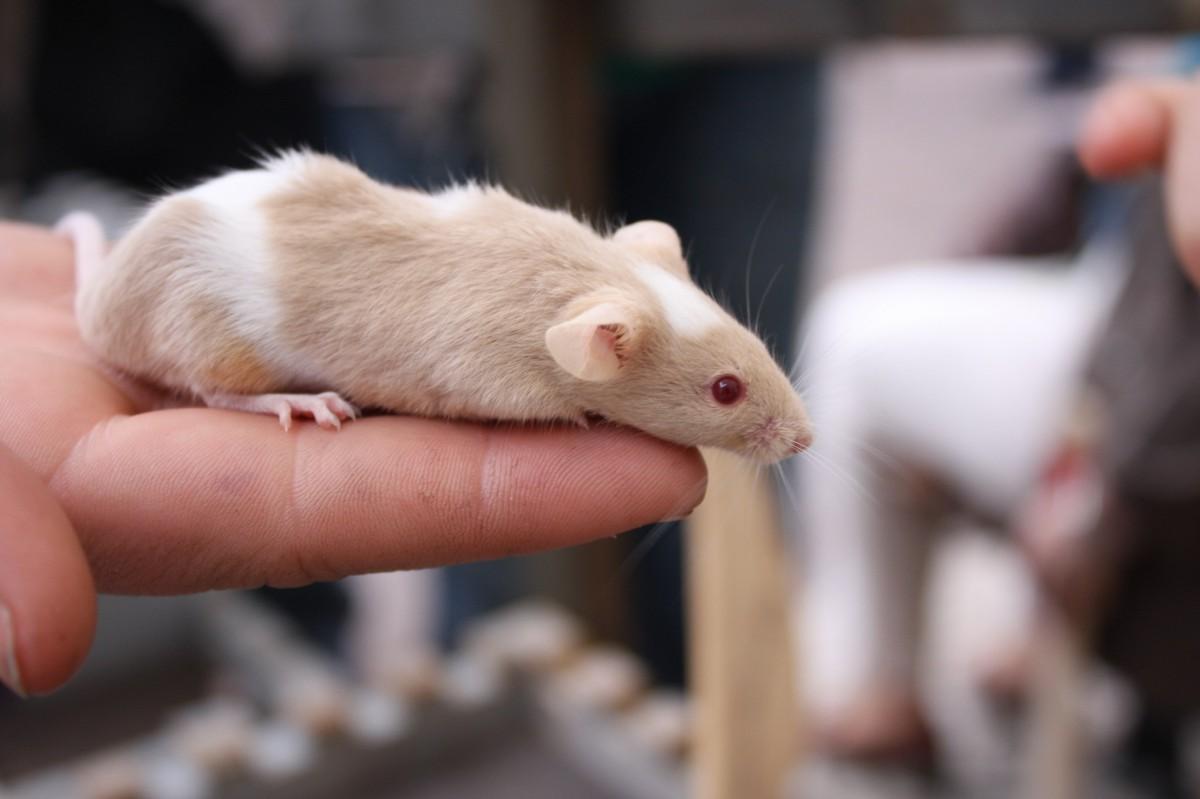 Eine Maus auf einer                     Hand