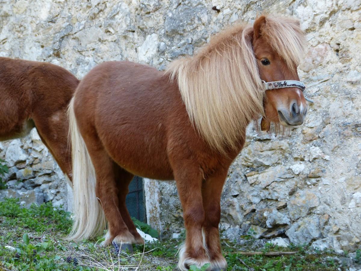 Pony (Shetlandpony)