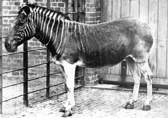 Quagga (Equus quagga quagga) im Londoner Zoo (um 1870)