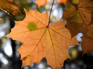Ein Ahornblatt im Herbst
