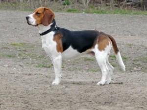 Ein ausgewachsener Beagle