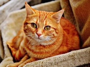 Katze (Hauskatze)
