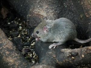 Maus (Mus musculus)