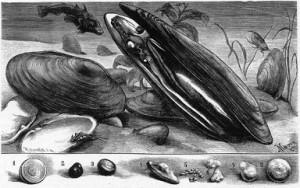 Najade (Flussmuschel)