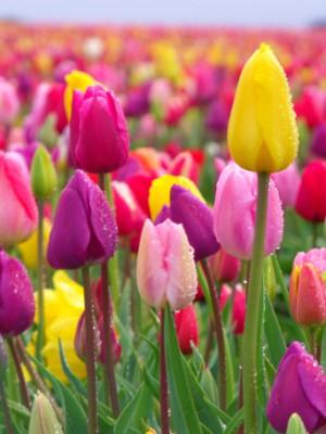 Tulpen auf einem Feld