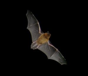 Pipistrellus pipistrellus in flight. Picture taken at dusk with a digital camera (Sony DSCP-90). Location: Brittany (France)
